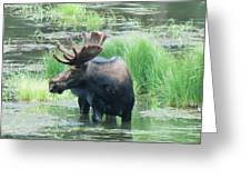 Bull Moose In The Wild Greeting Card by Feva  Fotos