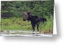Bull Moose Greeting Card by Jim Cumming