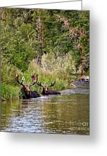 Bull Moose Summertime Spa Greeting Card by Timothy Flanigan