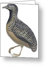 Button Quail Greeting Card by Anonymous