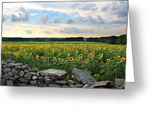 Buttonwood Farm Sunflowers Greeting Card by Andrea Galiffi