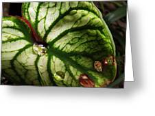 Caladium Leaf After Rain Greeting Card by Deborah Smith