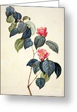Camellia Japonica Greeting Card by Pierre Joseph Redoute