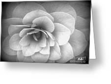 Camellia Study Greeting Card by Geri Glavis