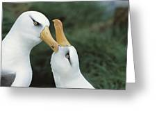 Campbell Albatrosses Courting Campbell Greeting Card by Tui De Roy