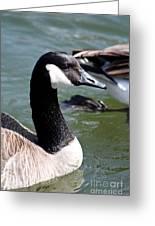 Canada Goose Profile Greeting Card by Anita Oakley