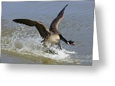Canada Goose Touchdown Greeting Card by Bob Christopher