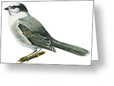 Canada Jay Greeting Card by Anonymous