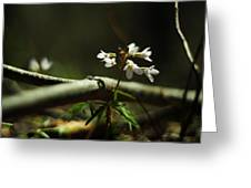 Cardamine Concatenata Cutleaf Toothwort Greeting Card by Rebecca Sherman