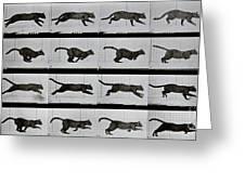 Cat running Greeting Card by Eadweard Muybridge