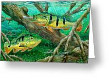 Catching Peacock Bass - Pavon Greeting Card by Terry Fox