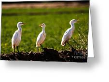 Cattle Egrets Greeting Card by Robert Bales