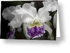Cattleya Catherine Patterson Full Bloom Greeting Card by Terri Winkler
