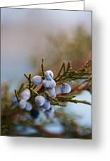 Cedar Berries Greeting Card by Kevin Bone