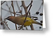 Cedar Waxwing Feasting In Foggy Cherry Tree Greeting Card by Jeff at JSJ Photography