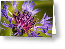Centaurea Greeting Card by Matt Dobson