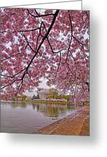 Cherry Blossom Tree Greeting Card by Mitch Cat
