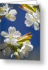 Cherry Blossoms Greeting Card by Christina Rollo
