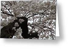 Cherry Blossoms - Washington Dc - 0113114 Greeting Card by DC Photographer