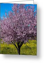 Cherry Tree In Bloom Greeting Card by Garry Gay