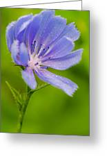 Chicory With Morning Dew Greeting Card by Anthony Heflin