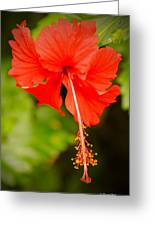 Chinese Hibiscus Greeting Card by Christopher  Ward