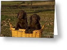 Chocolate Labrador Retriever Pups Greeting Card by Linda Freshwaters Arndt