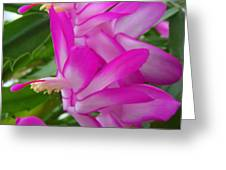 Christmas Cactus Flower Greeting Card by Aimee L Maher Photography and Art