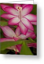 Christmas Cactus Flower Greeting Card by Bonita Hensley