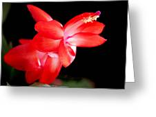 Christmas Cactus Flower Greeting Card by Rona Black