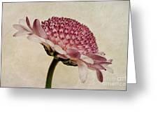 Chrysanthemum Domino Pink Greeting Card by John Edwards