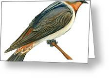 Cliff Swallow Greeting Card by Anonymous