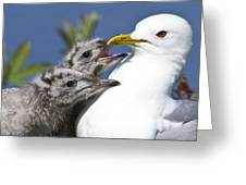 Close Up Of A Mew Gull With Two Hungry Greeting Card by Ken Baehr