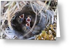 Closeup Of Lapland Longspur Chicks In Greeting Card by Scott Dickerson