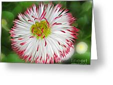 Closeup Of White And Pink Habenera English Daisy Flower Greeting Card by Valerie Garner