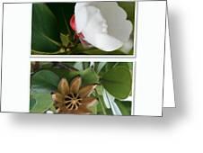 Clusia rosea - Clusia major - Autograph Tree - Maui Hawaii Greeting Card by Sharon Mau