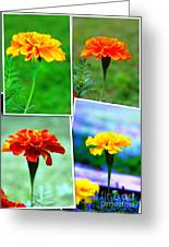 Collage Of Marigolds Greeting Card by Judy Palkimas