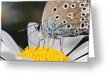 Common Blue Butterfly Greeting Card by Science Photo Library