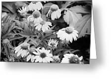 ConeFlowers Echinacea Rudbeckia BW Greeting Card by Rich Franco
