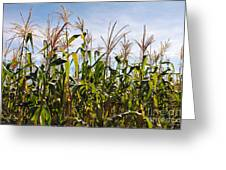 Corn Production Greeting Card by Carlos Caetano