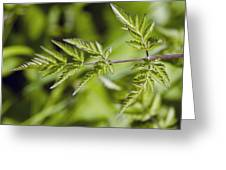 Cow Parsley (anthriscus Sylvestris) Greeting Card by Science Photo Library