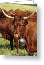 Cow Salers Greeting Card by Bernard Jaubert