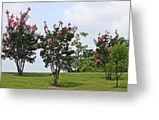 Crepe Myrtle Trees Greeting Card by Carolyn Ricks