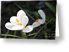 Crocus flower basking in sunlight Greeting Card by Elena Elisseeva