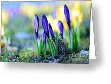 Crocus Greeting Card by Hannes Cmarits