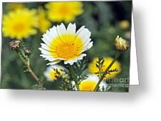 Crown daisy flower Greeting Card by George Atsametakis