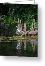 Crystal River Egret Greeting Card by Skip Willits