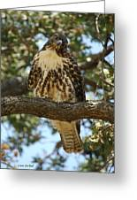 Curious Redtail Greeting Card by Donna Blackhall