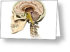 Cutaway View Of Human Skull Showing Greeting Card by Leonello Calvetti