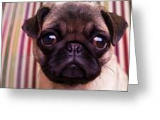 Cute Pug Puppy Greeting Card by Edward Fielding